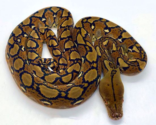 Picture of Classic Male Reticulated Pyrhon